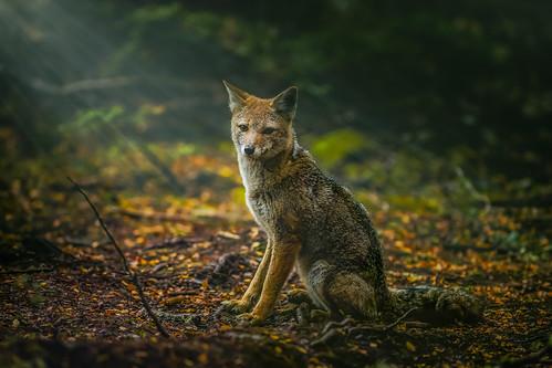 South American gray fox.