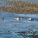 32 Brent Geese Nairn Harbour 230317