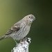 Little House Finch-43131.jpg