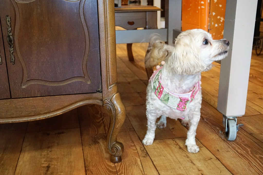 Delilah, Who Was Welcomed Into the Brownie's Dog Boutique Home the Night Before this Photo Was Taken, Rocks an Outfit Found at the Shop, Daytona Beach, Fla., July 15, 2017.