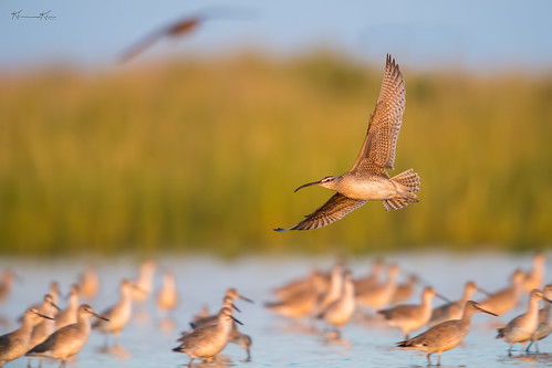 Whimbrels and Willets
