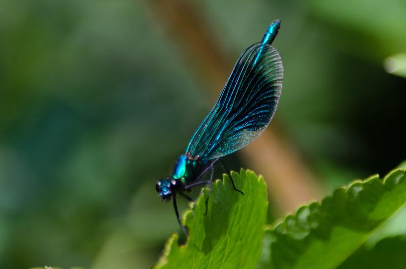 Male banded demoiselle dragonfly, Castlecroft