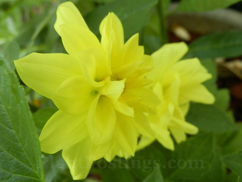 figaro yellow shades dahlia