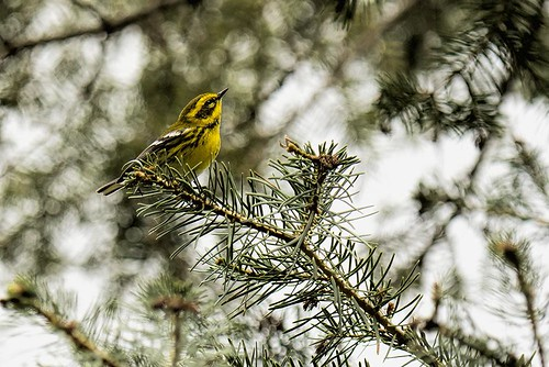 Mt. Lemmon: Townsend's Warbler