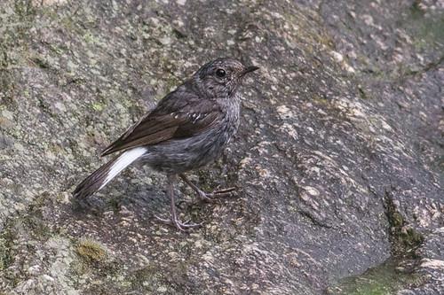Little Forktail  - juvenile