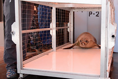 Monk seal safely transferred from Big Island to Oahu to return home