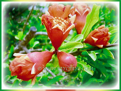 Captivating trumpet-shaped flowers of Punica granatum (Pomegranate, Buah Delima in Malay), 23 Aug 2017