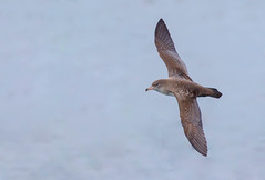 Pink-footed Shearwater (Puffinus creatopus) - Clayquot Canyon, BC