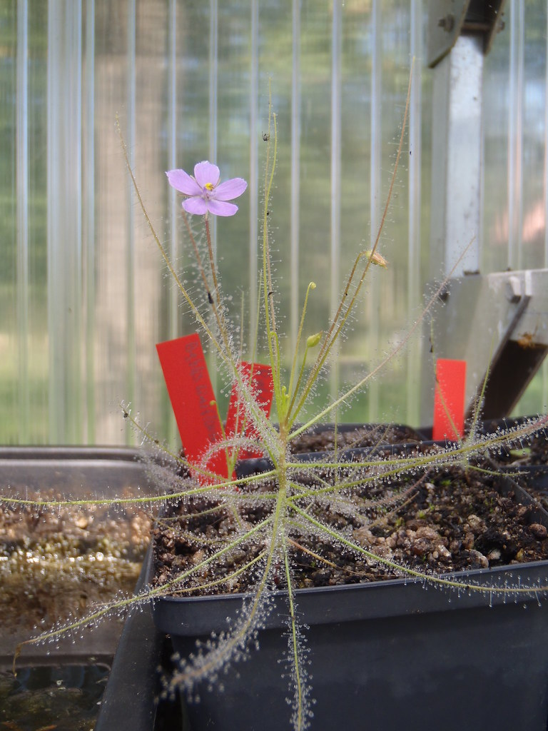 Biblys liniflora