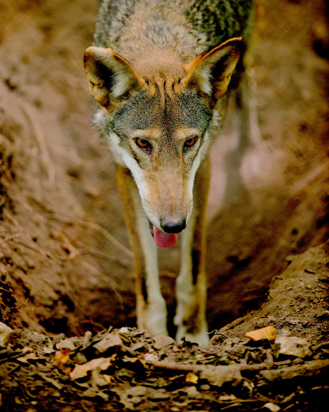 Red Wolf_23