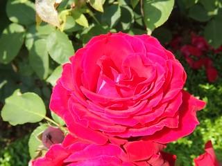 谷津バラ園の薔薇 02