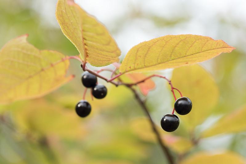 Bird cherries (Padus avium)