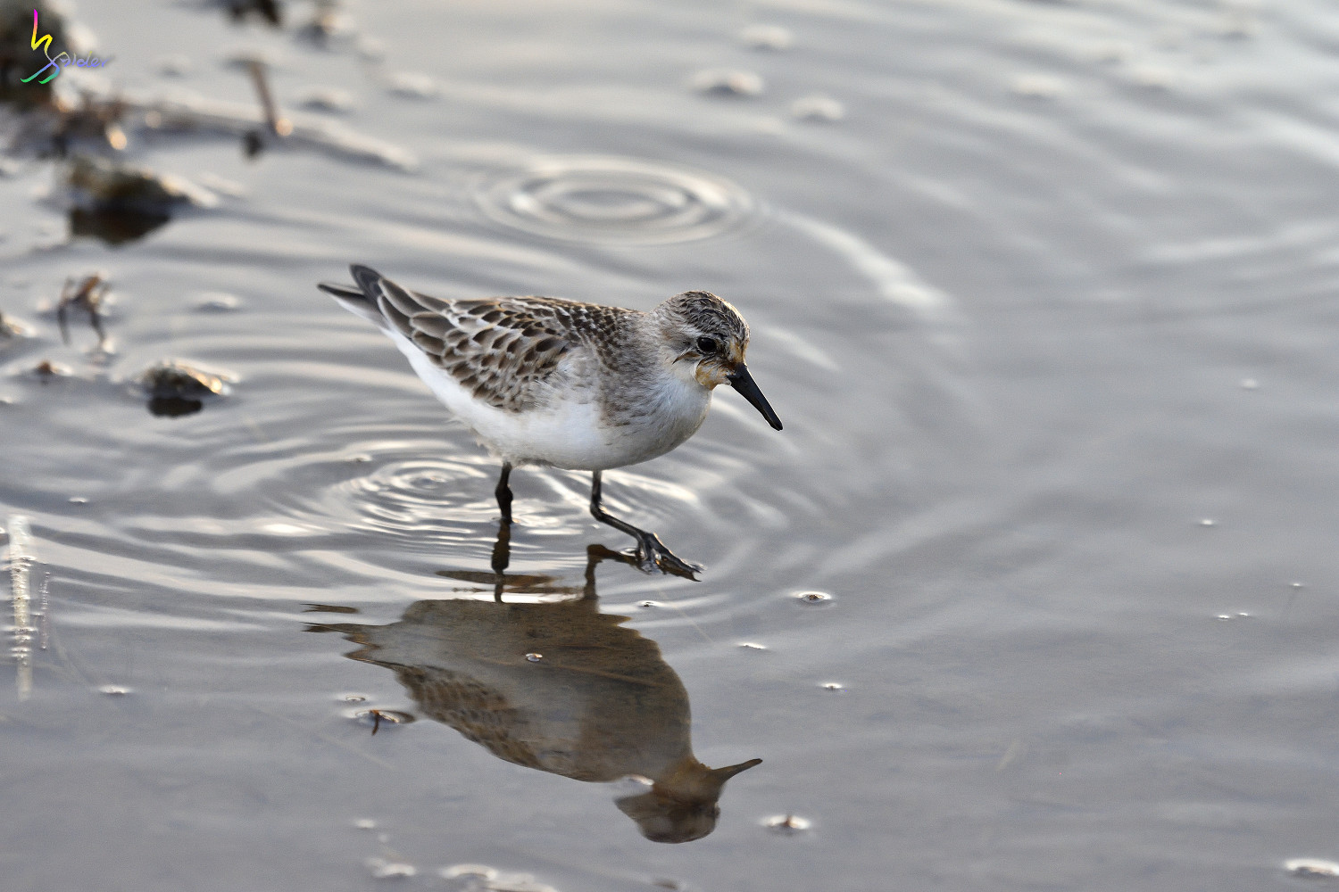 Red-necked_Stint_0353