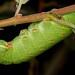poplar hawk-moth, Laothoe populi, larva