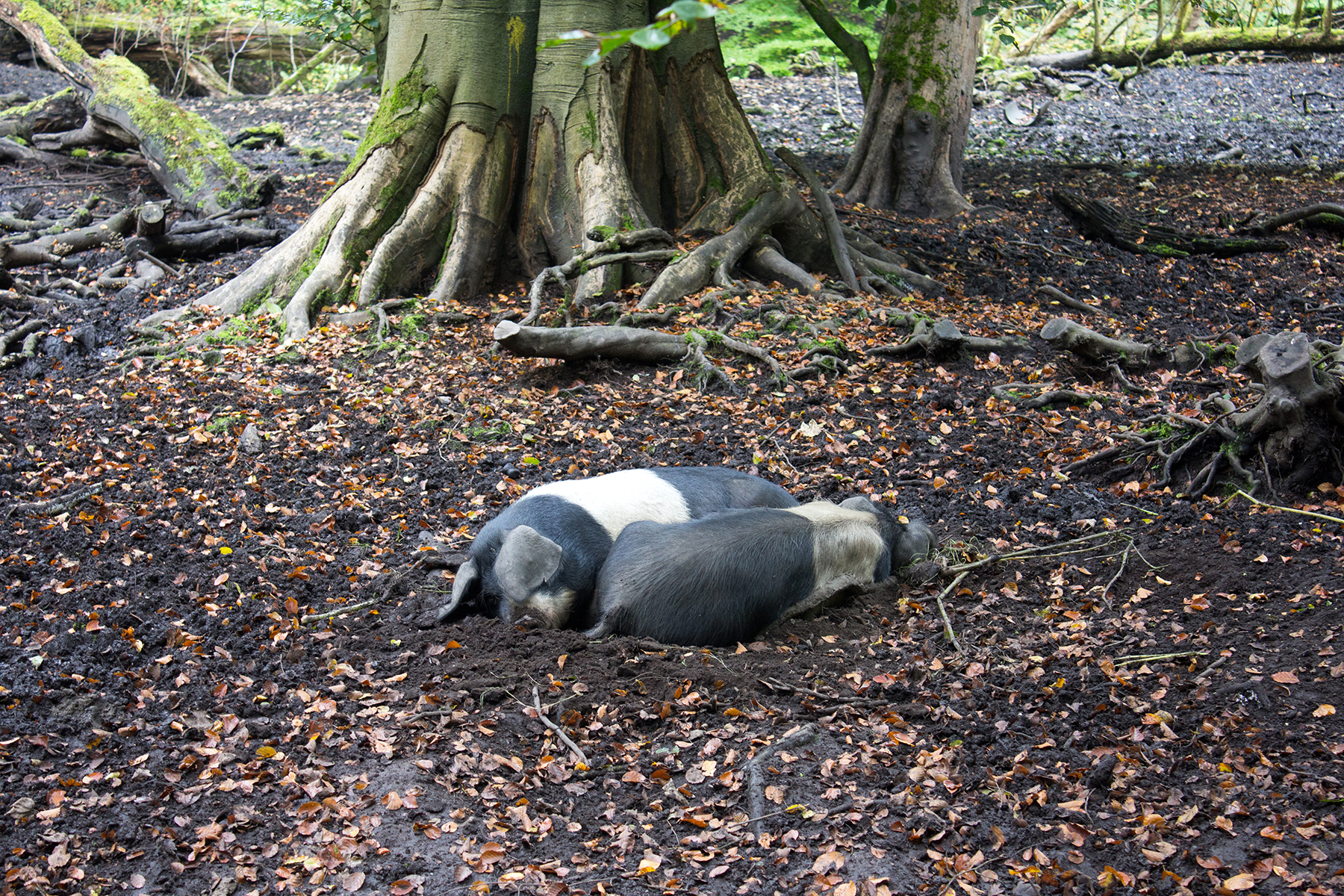 Woodland Walk to Haigh Hall | Pigs