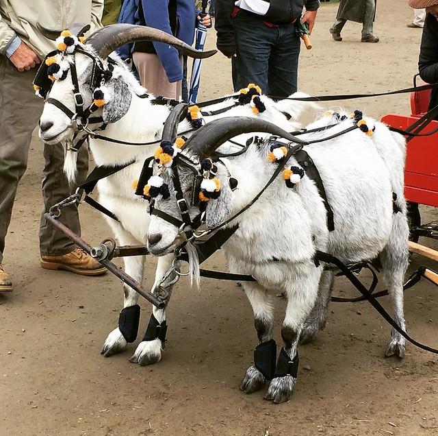 Cashmere goats. 🐐🐐