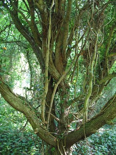 entwined tree