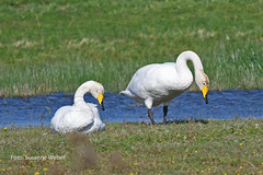 Singschwan - Whooper Swan