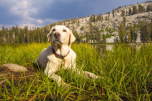 sandy sequoianationalforest yellowlab yellowlabrador camping dog hiking lab labrador lake