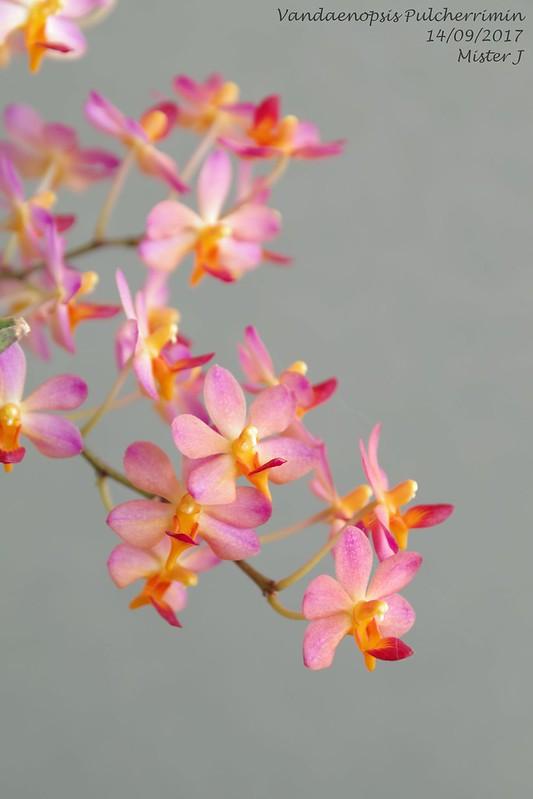 Vandaenopsis Pulcherrimin (Phalaenopsis pulcherrima X Vanda miniata) 37029491296_2450e1a40b_c