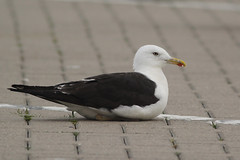 Baltische Mantelmeeuw - Larus fuscus fuscus - Baltic Lesser Black-backed Gull