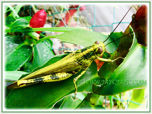 Grasshopper feasting on our Red Button Ginger, 4 Aug 2017