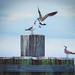 Battle of the Gulls... by crziebird