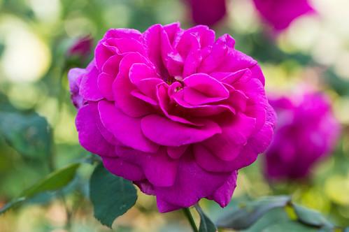 Arundel Rose Garden 1
