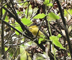 Yellow-breasted Brush-finch (Atlapetes latinuchus)