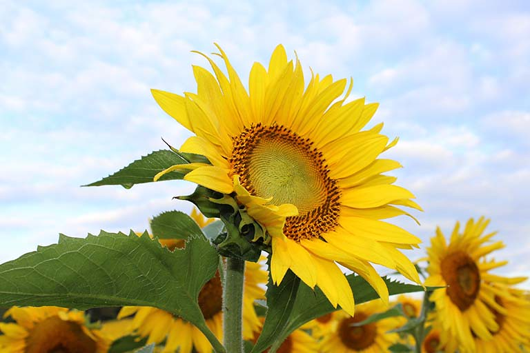 太陽花 向日葵
