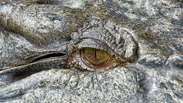 Eye of the Croc