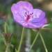 Sticky Geranium (Geranium viscosissimum) - Grand Teton National Park by Jim Frazee