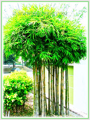Bambusa multiplex (Clumping Bamboo, Hedge Bamboo, Chinese Dwarf Bamboo, Buluh Pagar in Malay) is a fast-growing, clump-forming and erect bamboo, 14 March 2014