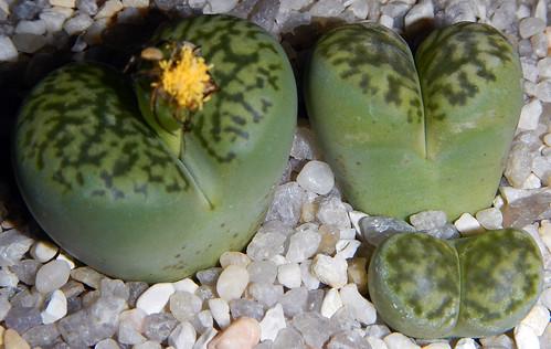 _Lithops bromfieldii v. sulphurea