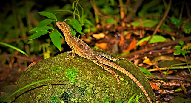 Camouflaged Central American Whiptail Lizard, Manuel Antonio National Park, Costa Rica.