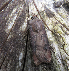 Dark Sword-grass Agrotis ipsilon Tophill Low NR, East Yorkshire August 2017