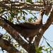 Plain Chachalaca (Ortalis vetula)_DSC4140-editCC por Dave Krueper