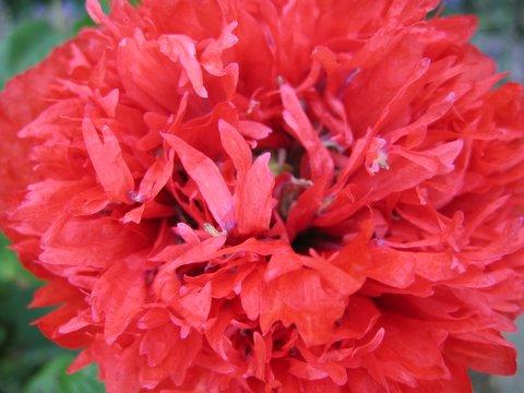 09 poppy
