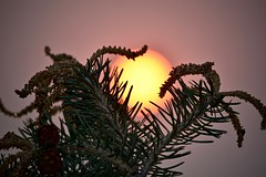 Spruce Tree and Smoky Sunset - II