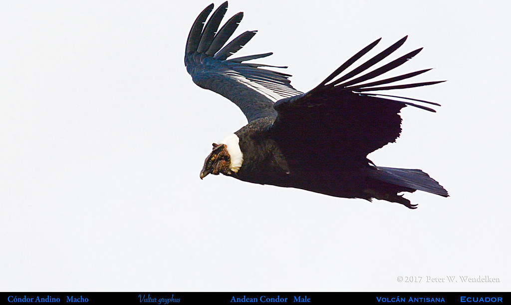 Male ANDEAN CONDOR Vultur gryphus Gliding at Volcán Antisana, Ecuador. Condor Photo by Peter Wendelken.