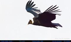 Male ANDEAN CONDOR Vultur gryphus Gliding at Volcán Antisana, Ecuador. Condor Photo by Peter Wendelken.