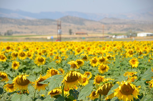 Cody Sunflower field