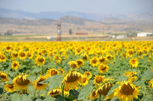 Cody Sunflower field