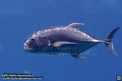 Giant Trevally - Caranx ignobilis
