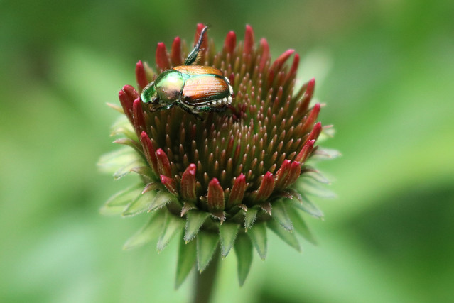 beetle in the center of an unopened purple coneflower