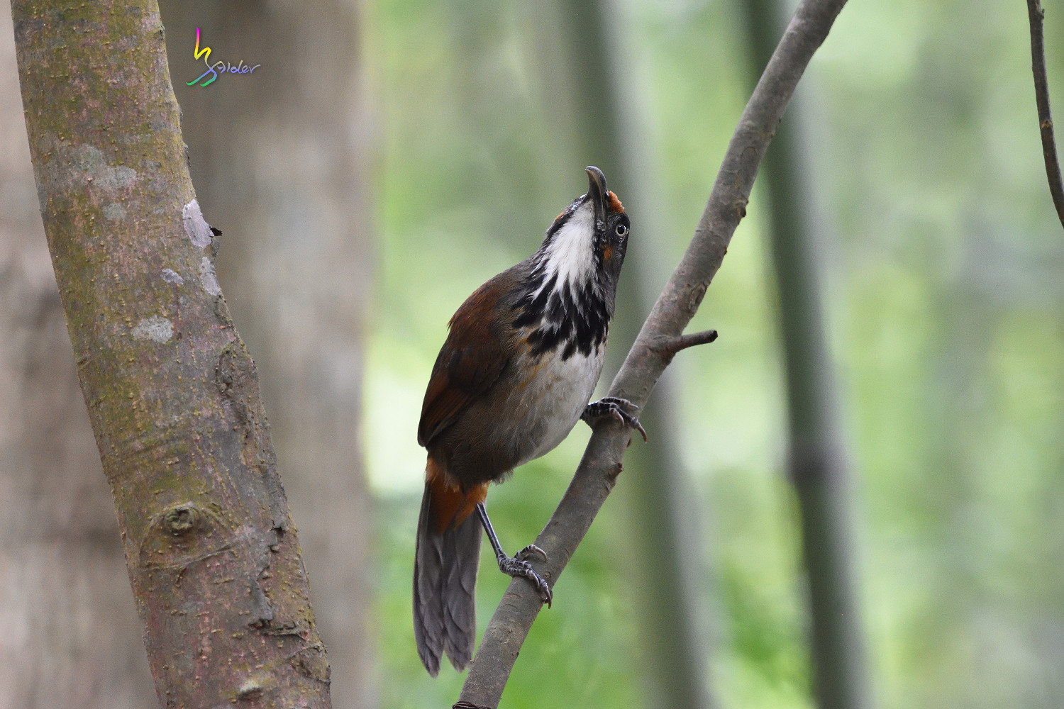 Rusty-cheeked_Scimitar_Babbler_1997