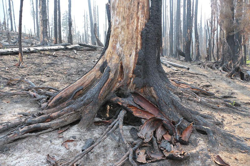 This tree was alive when the fire started but the nearby dead roots slowly cooked it from below