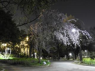 千葉縣護國神社1 枝垂れ桜の分かれ道