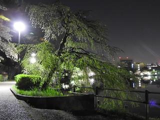 千葉公園綿打池 夜桜ライトアップ06