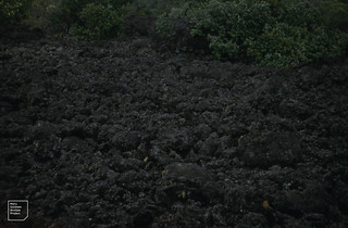 Rangitoto Island volcano. Black scoria like clinker. Pohutukawa. Hauraki Gulf, NI, NZ, 1957